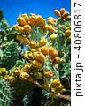 花 さぼてん サボテンの写真 40806817