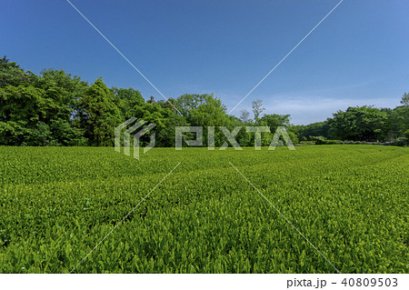 新緑のお茶畑 40809503