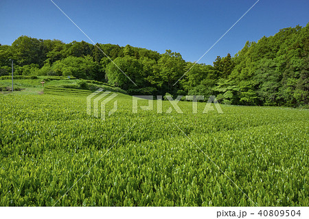 新緑のお茶畑 40809504