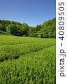 新緑 茶畑 所沢市の写真 40809505