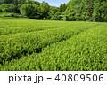 新緑 茶畑 所沢市の写真 40809506