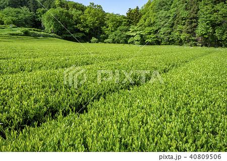 新緑のお茶畑 40809506