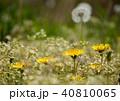 タンポポ 花 キク科の写真 40810065