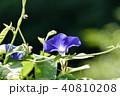 花 夏 植物の写真 40810208