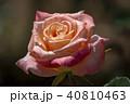 屋外 室外 バラの写真 40810463