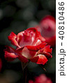屋外 室外 バラの写真 40810486