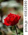屋外 室外 バラの写真 40810490