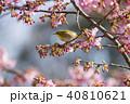 桜 目白 花の写真 40810621