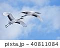 青空と丹頂の親子(北海道・鶴居) 40811084
