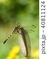 トンボ シオカラトンボ ムギワラトンボの写真 40811124
