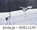 タンチョウ ダンス 鶴の写真 40811145
