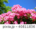 植物 花 ツルバラの写真 40811836