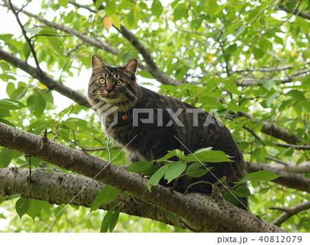 木の上から辺りを見渡す猫 40812079