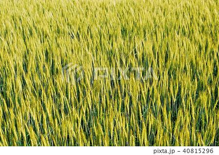麦畑 40815296