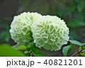 植物 花 オオデマリの写真 40821201
