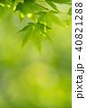 モミジ 葉 新緑の写真 40821288