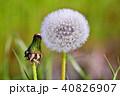 タンポポと綿毛の高画質写真 40826907