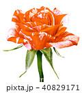 フラワー 花 バラの写真 40829171