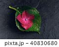 あじさい アジサイ 紫陽花の写真 40830680