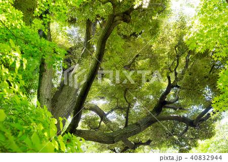 新緑の木 40832944