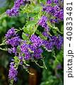 デュランタ・レペンス咲く季節 40833481