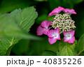 紫陽花 あじさい 植物の写真 40835226