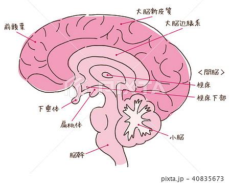 脳 断面 名称入り 40835673