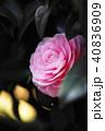 花 開花 植物の写真 40836909