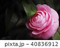 花 開花 植物の写真 40836912