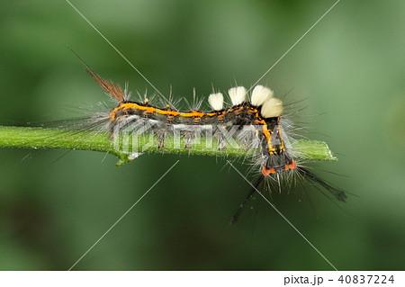 生き物 昆虫 ヒメシロモンドクガ、終齢幼虫のようです。角に尻尾にたてがみと賑やかな姿です 40837224