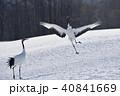 タンチョウ ダンス 鶴の写真 40841669