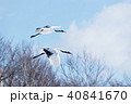 舞い降りる二羽の丹頂鶴(北海道・鶴居) 40841670
