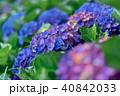 ガクアジサイ 額あじさい 秋紫陽花の写真 40842033