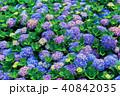 ガクアジサイ 額あじさい 秋紫陽花の写真 40842035