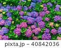 ガクアジサイ 額あじさい 秋紫陽花の写真 40842036