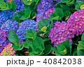 ガクアジサイ 額あじさい 秋紫陽花の写真 40842038