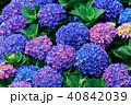ガクアジサイ 額あじさい 秋紫陽花の写真 40842039