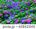 ガクアジサイ 額あじさい 秋紫陽花の写真 40842040