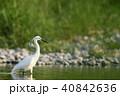 コサギ 鳥 野鳥の写真 40842636