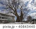 山形県東根市 東根の大ケヤキ 40843440