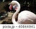 フラミンゴ 鳥 鳥類の写真 40844941