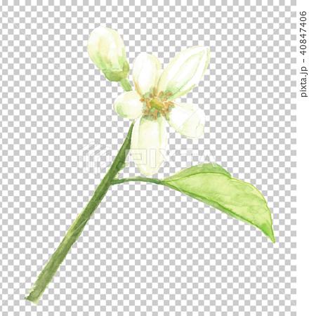 ハッサクの花 40847406