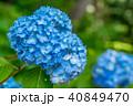 紫陽花 あじさい 花の写真 40849470