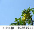 つつじ 花 春 背景  40863511