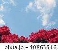 つつじ 花 春 背景  40863516