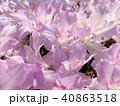 つつじ 花 春 背景  40863518