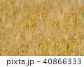 琵琶湖畔の六条大麦 40866333