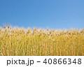 琵琶湖畔の六条大麦 40866348