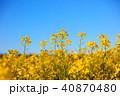 菜の花畑 菜の花 菜花の写真 40870480
