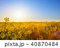 菜の花畑 菜の花 菜花の写真 40870484